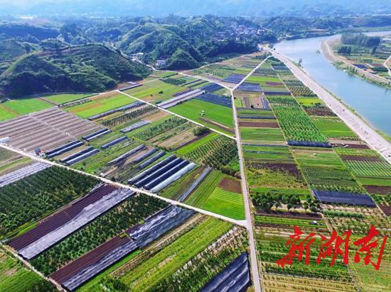 (8月11日,怀化市洪江区桂花园乡茅头园村,500亩花卉种植基地。 本文图片均为湖南日报·华声在线记者 徐行 摄)