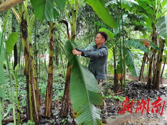 (9月16日,村民彭彪在望母洲景区修剪芭蕉林枝叶。胡盼盼 摄)
