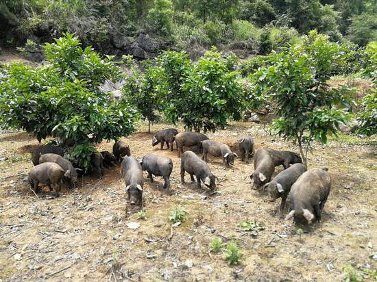 杨木村放养的黑猪。