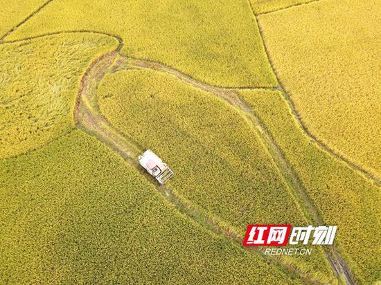 10月19日,湖南省双峰县井字镇花桥村双季稻高产种植基地,农民驾驶收割机在收割晚稻。