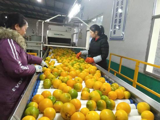新宁:崀山果业脐橙生产线一片繁忙