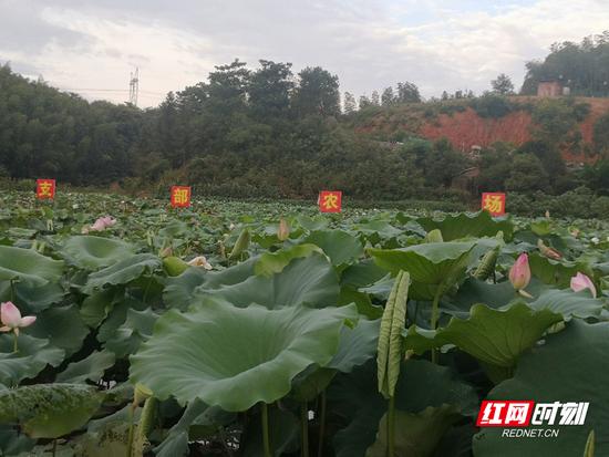 苏仙区飞天山镇高椅岭村的田畔里,支部农场基地种植的荷花长势喜人。
