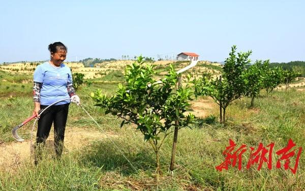 8月29日,新宁县安山乡大塘村,村民何晚霞在家门口的脐橙园除草、浇水。 湖南日报记者 唐俊 摄
