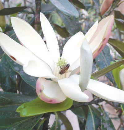 华盖木的花朵洁白美丽。 孙卫邦摄