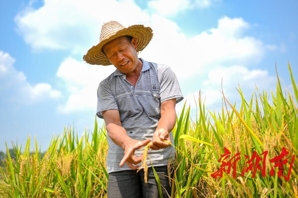 8月29日,新宁县安山乡大塘村,64岁的黄费斌看见稻穗丰满,脸上笑开了花。 湖南日报记者 唐俊 摄
