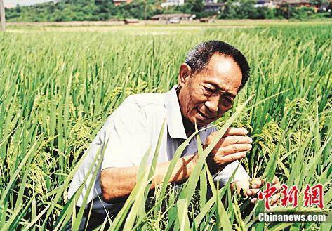水稻是袁隆平的掌上明珠。王精敏 摄