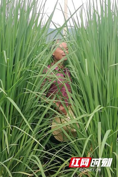 """""""巨型稻""""比人还高。"""