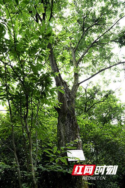 湖南浏阳文家市镇湘龙村,102年前,青年毛泽东在这里种下了两棵板栗树。