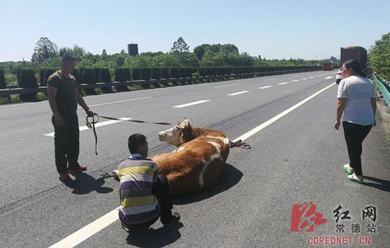驾驶员与同行人员准备将牛牵上货车