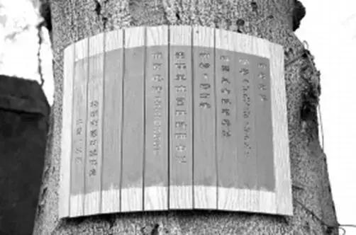 这棵皂角树已有181年历史,被列为市级保护古树(陈杰 摄)