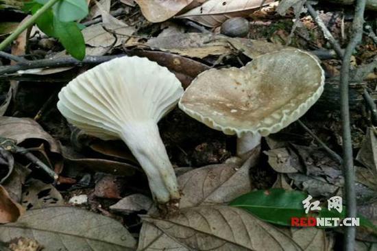 现场拍摄的毒蘑菇
