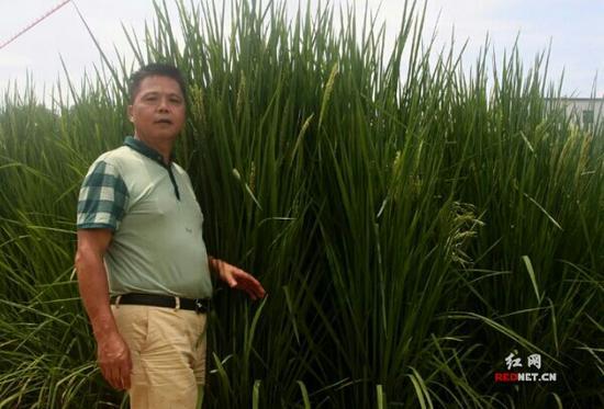 株洲基地水稻负责人蒋海云1.7米的个头,仍比巨型稻矮。