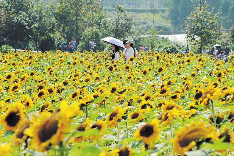 国庆中秋假期,省森林植物园葵花基地里的向日葵盛放,吸引了众多市民和游客观赏。长沙晚报记者 贺文兵 摄