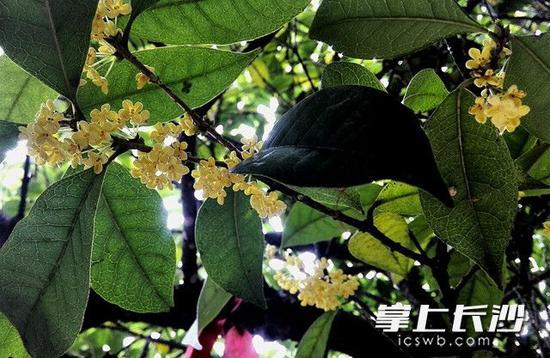 一簇簇桂花在枝头绽放。图片均为长沙晚报记者 周柏平 摄