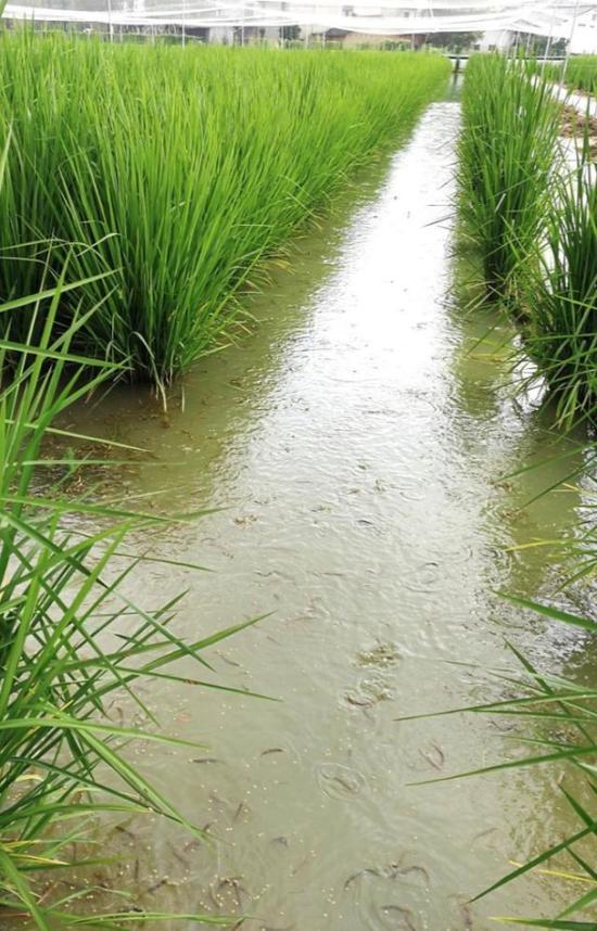 试验田中放养的泥鳅。中科院亚热带农业生态研究所供图。