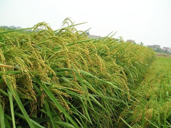 """一边是巨型稻培育的""""湘巨1号"""",一边是普通杂交水稻。中科院亚热带农业生态系统研究所供图。"""