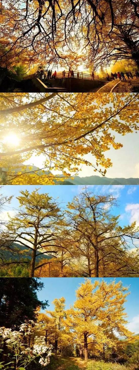 桐子坳的银杏黄在十一月中旬后半个月左右,是极为讲究时间的。早去了遇见的是满树的青涩娇羞,晚到了只剩下落叶层层堆叠的等候。