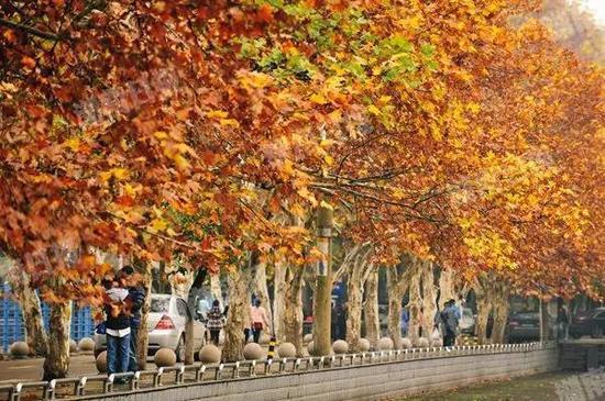 铁道学院篮球场和跑道之间,一条长长的法国梧桐林荫道,沿路的法国梧桐叶在秋日的阳光下泛着金色的光芒,宛如一幅美丽的油画。