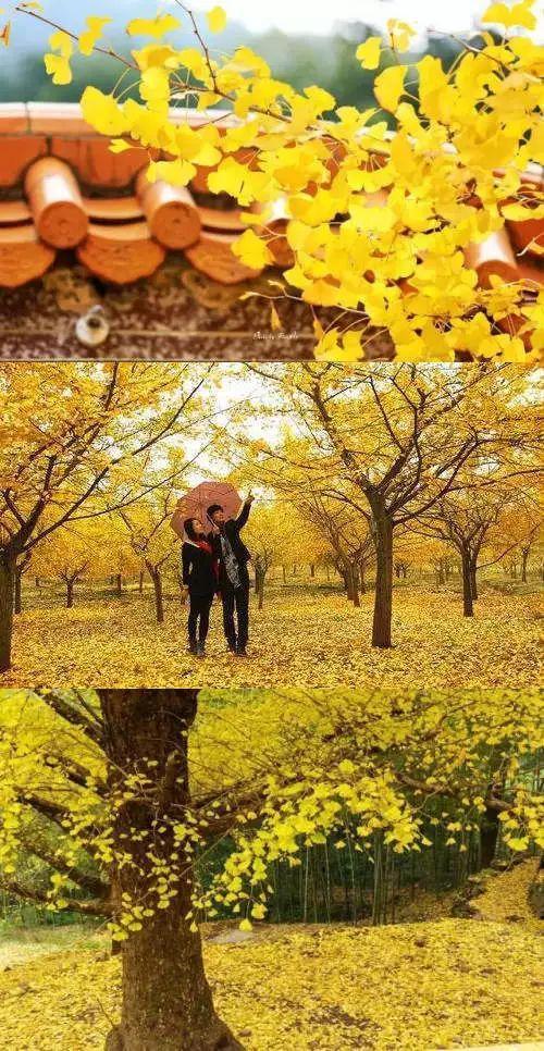 秋天到了,衡阳宝盖镇银杏黄了。不仅树上全是金黄的叶子,地面也都铺满了黄色,像一层地毯,供行人来往时踏黄赏景。