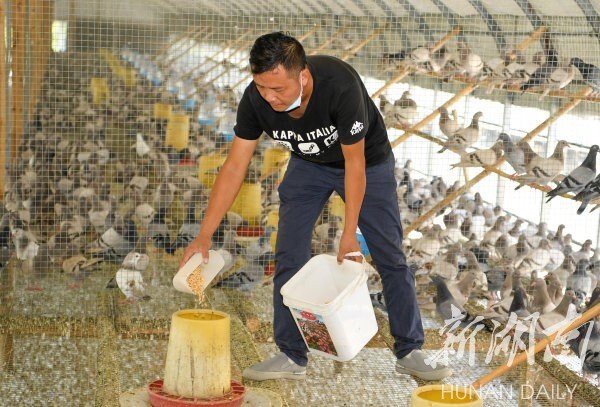 △8月21日,永州市零陵区菱角塘镇文雷村,工作人员在永珍生态农业发展有限公司喂养鸽子。 湖南日报记者 傅聪 摄
