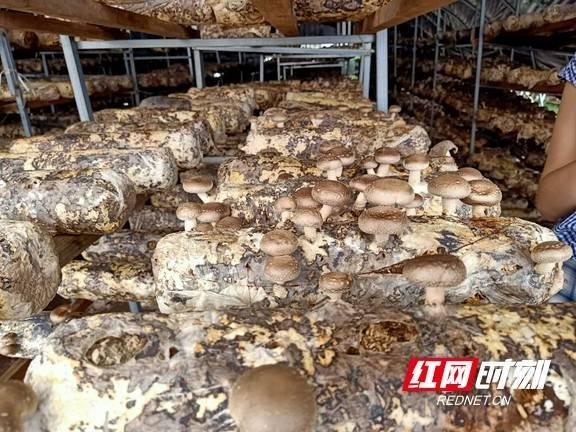 吉首市大兴村香菇生产大棚。