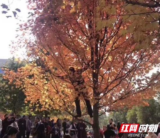 """赏枫的不文明市民攀上了枫树,张牙舞爪地在树上""""欢腾""""。"""