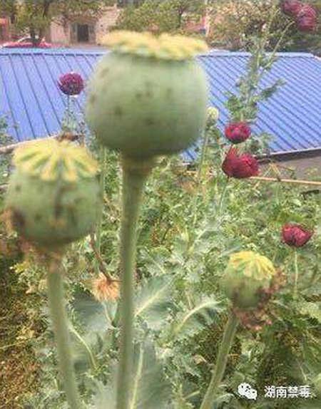 发现的罂粟花。