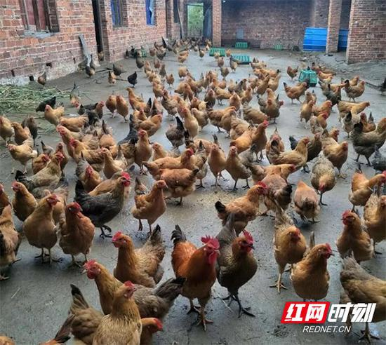 家庭农场里的土鸡。