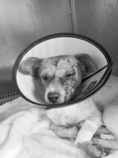 伤口缝了100多针的流浪狗。图/受访者提供