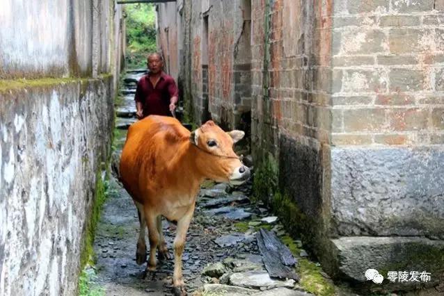 放牛归来。