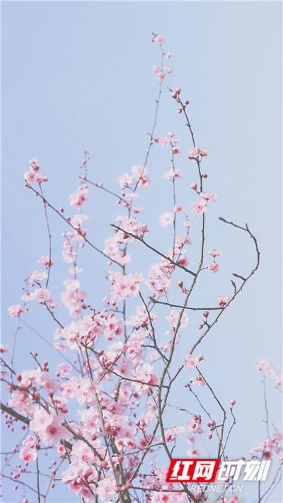 长沙西湖公园盛开的花朵。
