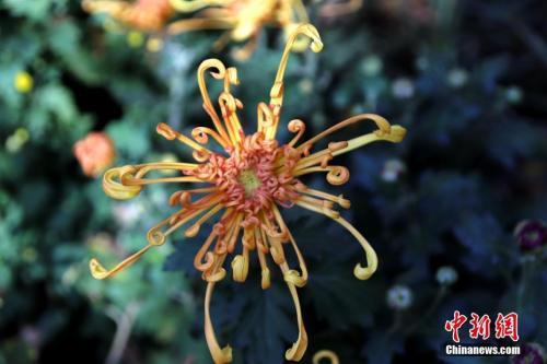 资料图:河南开封清明上河园,菊展上的菊花。中新社记者 王中举 摄