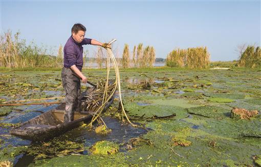 9月7日,华容县禹山镇砂山村,方德华在水田里收割芡实杆。湖南日报·华声在线记者 唐俊 摄