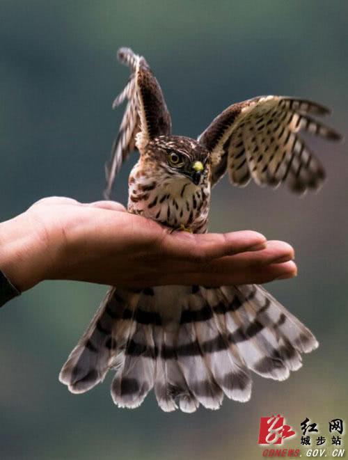 邵阳南山国家公园内一误入百姓家中的松雀鹰被放飞