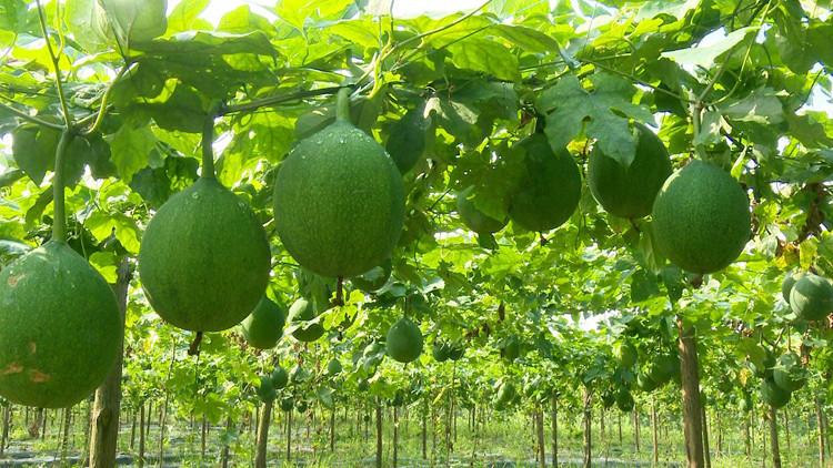 成片的瓜蒌长势喜人。