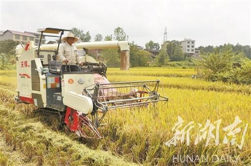 (8月22日,洞口县高沙镇石榴村,村民驾驶收割机收割水稻。湖南日报记者 李健 摄)