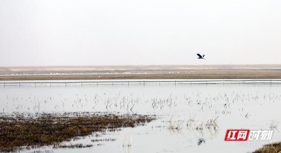 湖心深处依稀可见大批越冬候鸟。摄影 秦楼