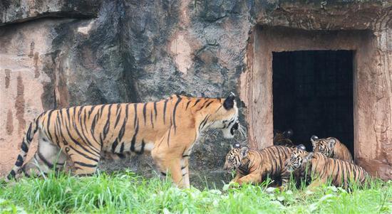 """这是9月26日在长沙生态动物园拍摄的华南虎幼崽与虎妈""""小华""""。 新华社记者 陈振海 摄"""