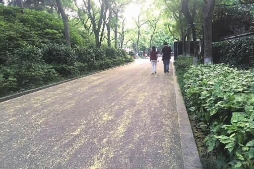 5月17日,市民在烈士公园飘满柳絮的道路上漫步。 记者 张洋银 摄