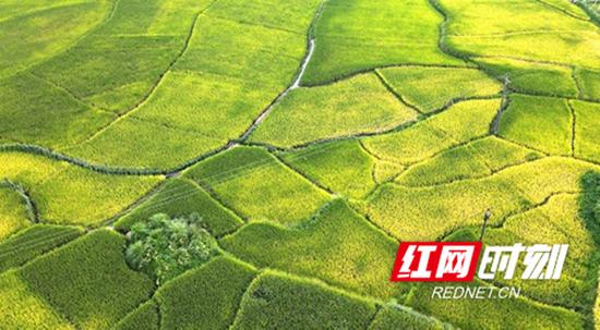 隆回县金石桥镇超级稻田间一片金黄,丰收在望。