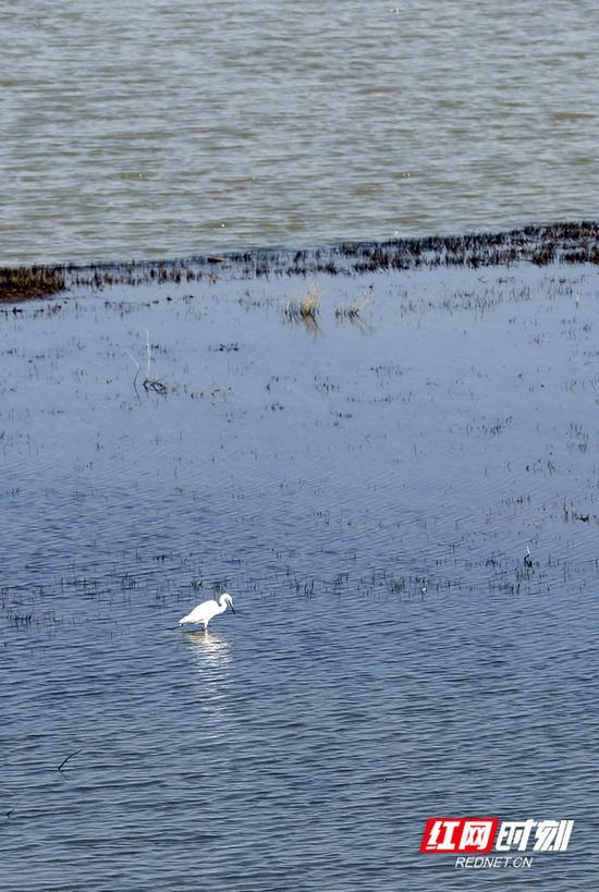 保护区里,一只白鹭在水面栖息。摄影 秦楼