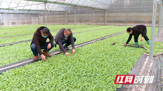 技术人员和烟农细心呵护烤烟幼苗。