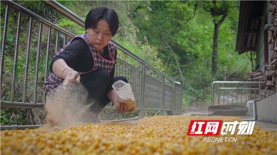酒曲作用下,玉米快速发酵。