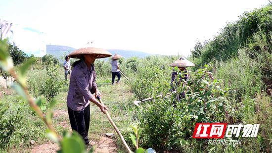 正在油茶基地忙活的吴银姣老人。