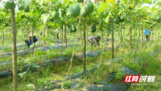 村民们正在除草、施肥。