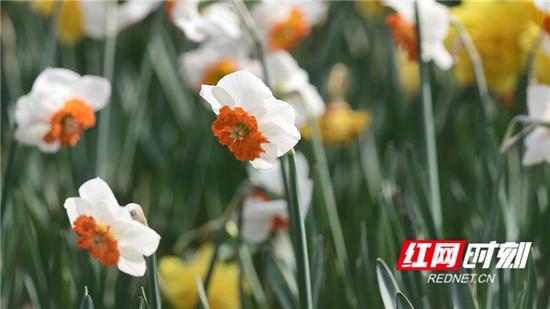 水仙花。图/朱丽萍