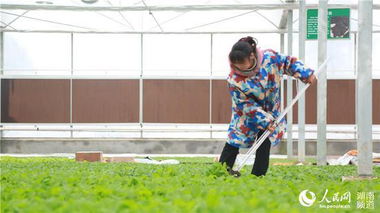 基质无土栽培,让农民下地也不会弄脏鞋。人民网李芳森摄