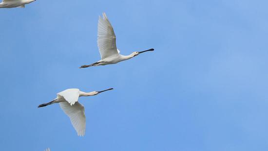 超两万只候鸟光临东洞庭湖