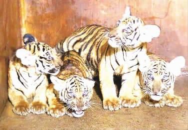 9月20日,记者在长沙生态动物园看到4只华南虎宝宝。