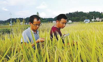 胡忠孝(左)和同事一起在田间查看水稻长势。资料图片